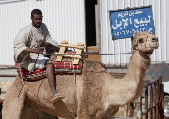 Camels Are Prime Suspects In Deadly Saudi Virus Outbreak