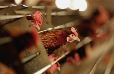 Saudi Arabia temporarily bans poultry imports from India over bird flu
