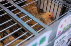 Saudi bans import of poultry from Vietnam over bird flu fears
