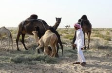 Qatar ships home thousands of camels stranded in Saudi via Kuwait