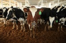 Oman's new dairy company Mazoon set to begin operations this year as cows arrive