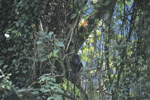 Travel Review: Trekking With Gorillas At Bwindi National Park