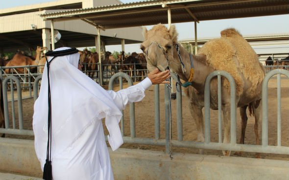 UAE's Camelicious Given EU Export Licence